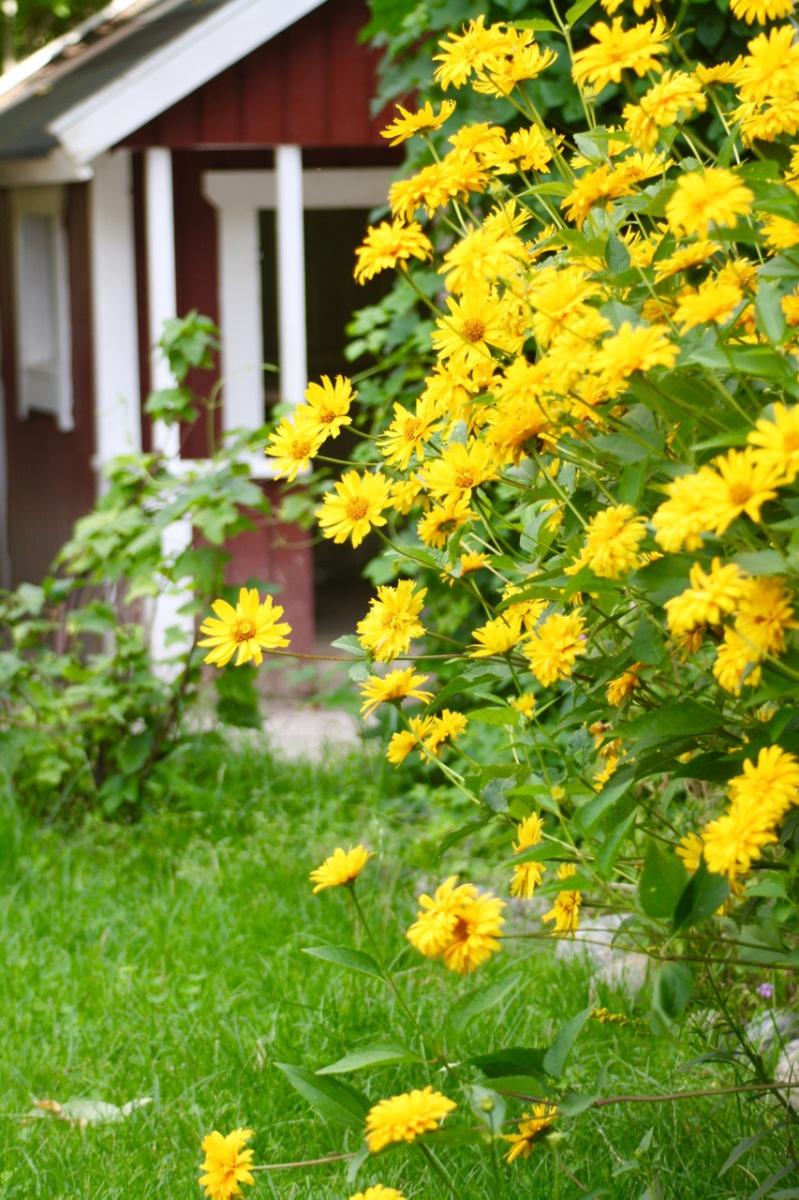 Gula blommor vid väggen